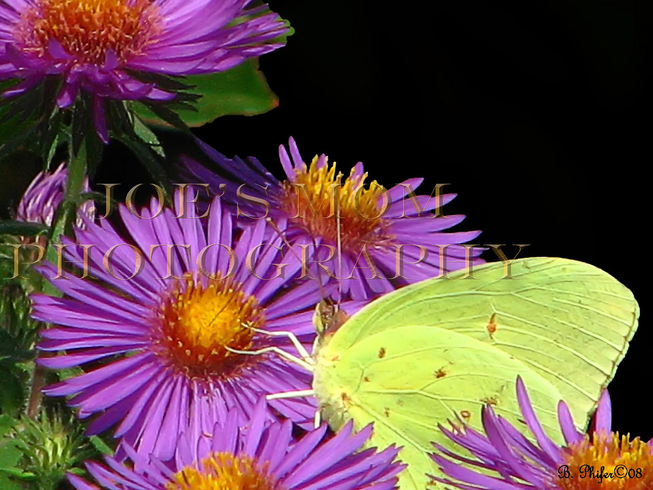 A butterfly inspects my New England asters