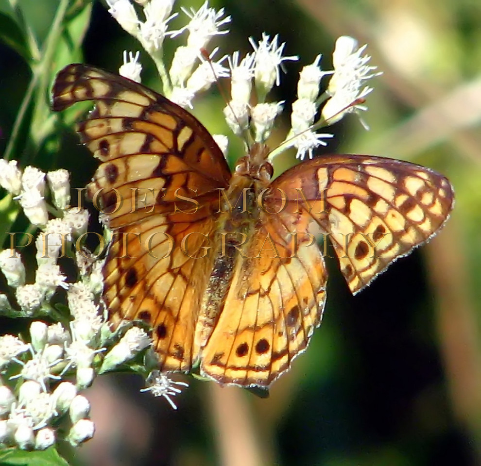 Ragged butterfly