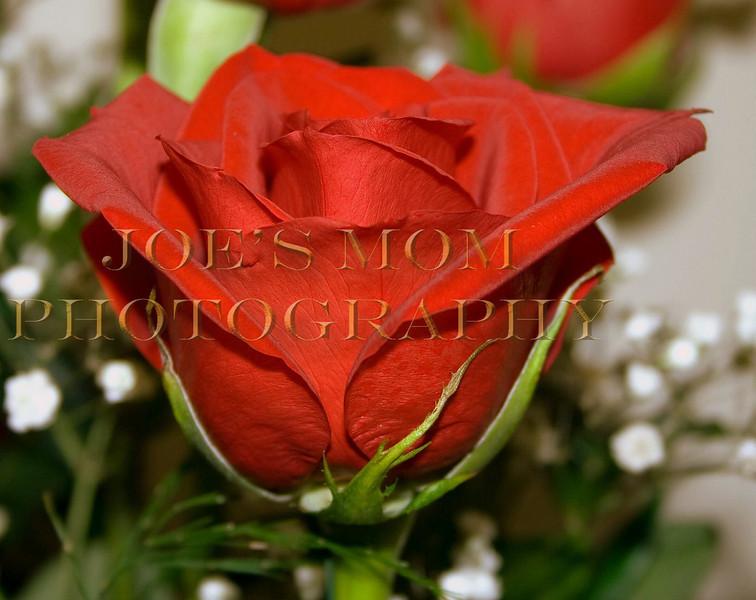 Rose Bud III