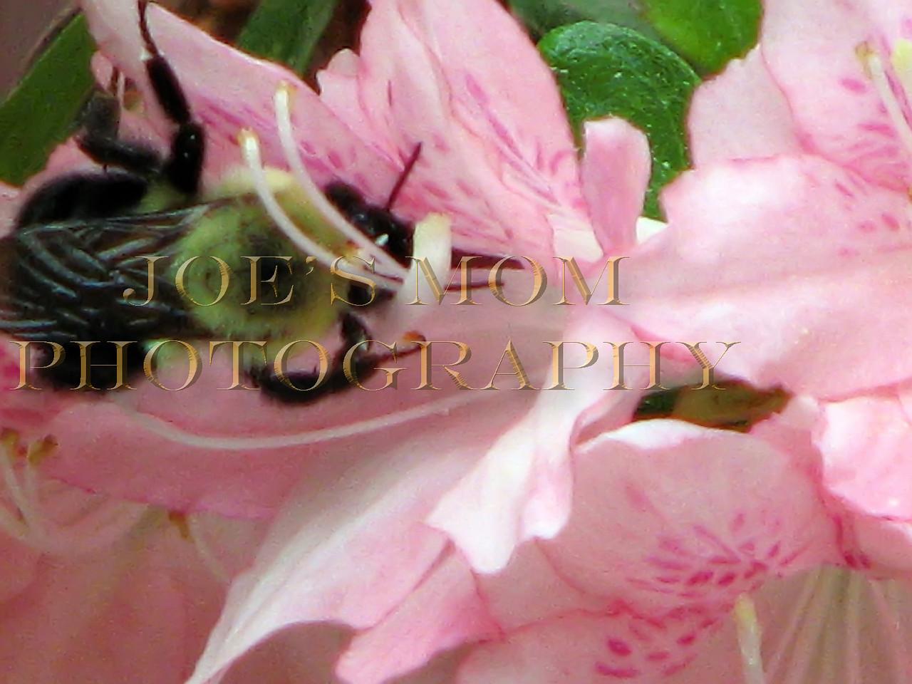 Pink Azalea Bee