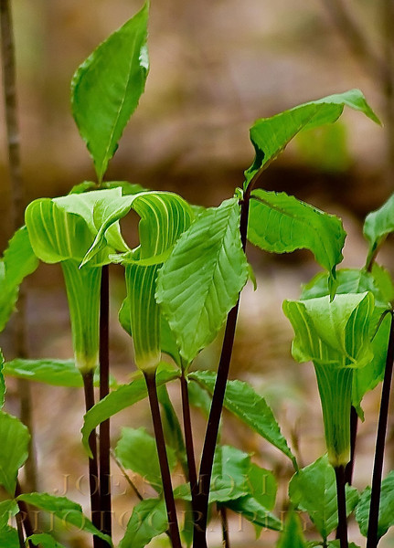 Jack-in-the Pulpit Convention