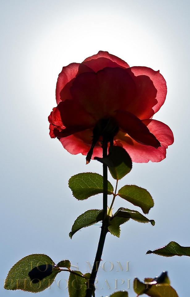 Under the rosebush