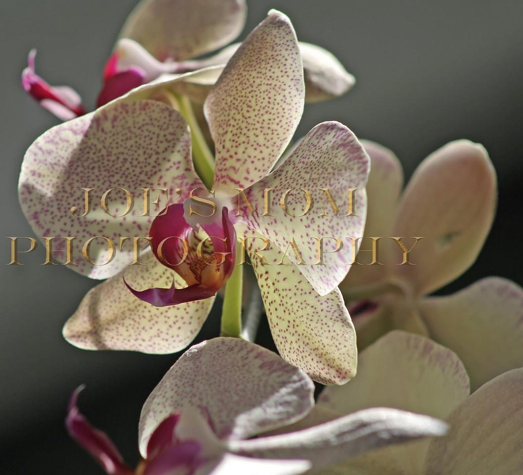 Phaleonopsis Valentine