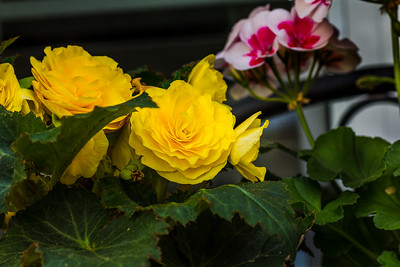 flowers at home-32_May 12, 2014