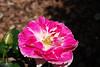 Regensburg Rose