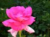 Fame Rose