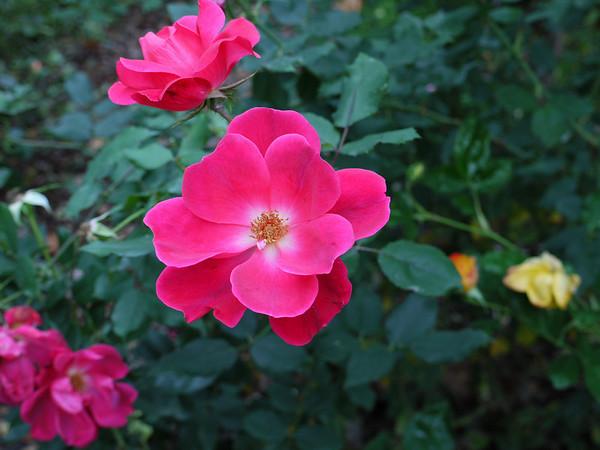 G1 Photo - Knockout Rose