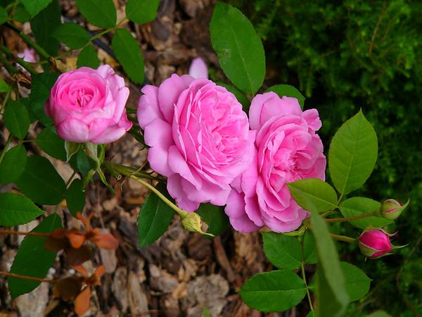 Gertrude & Jekyl Rose