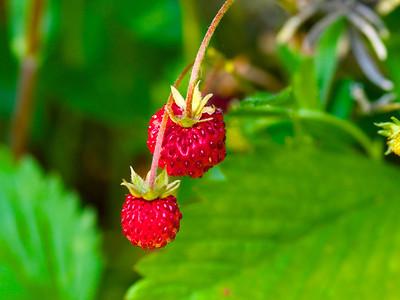 Garden - Fruit