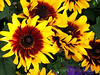 Procut Bicolor Sunflowers Yellow Dark Red