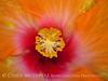 Hibiscus (4)