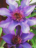 Purple Clematis with Attitude