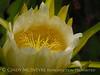 Cereus flower, San Diego (3)