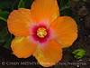 Hibiscus (6)