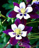 Columbine Colorado State Flower