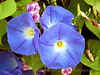 Morning Glory Periwinkle