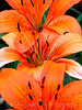 Tiger Lily lilium lancifolium