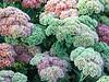 Seedum Blooming in Fall
