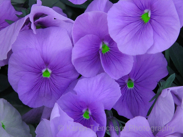 Perfect Purple Pansies