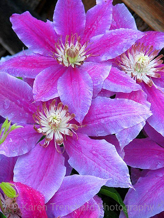 Clematis Day Glow Purple