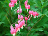 Delicate Bleeding Heart