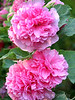 Pink Carnations Corsage