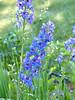 Delphinium x elatum Larkspur Lilac Ladies