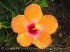 Hibiscus (1)