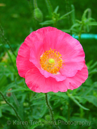 Icelandic Poppy Bright Pink Papaver nudicaule