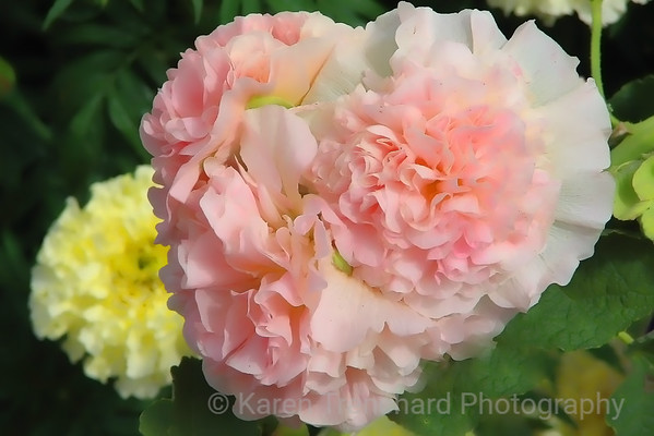 Soft Pink Carnations