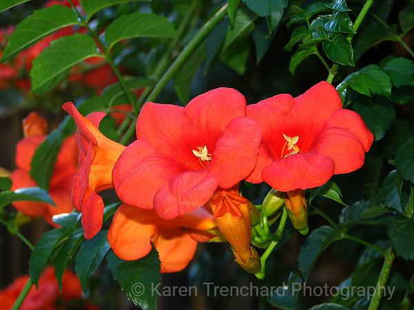 Orange Trumpets