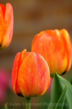 Two Orange Tulips