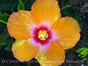 Hibiscus (5)