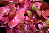 Mauve Pink Hydrangeas
