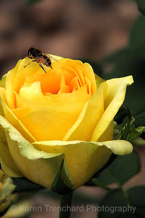 Bee on Yellow Rose
