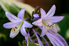 Periwinkle Lily
