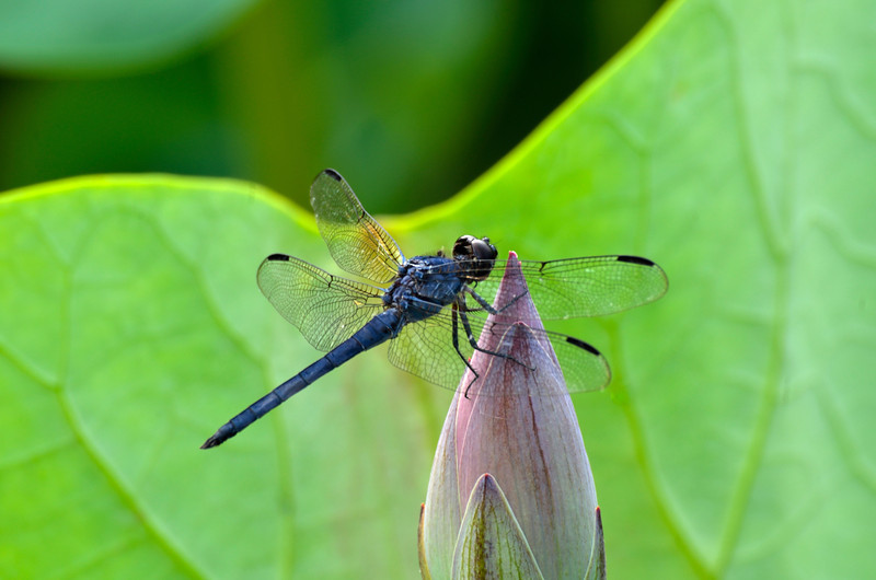 Dragon Fly's kiss