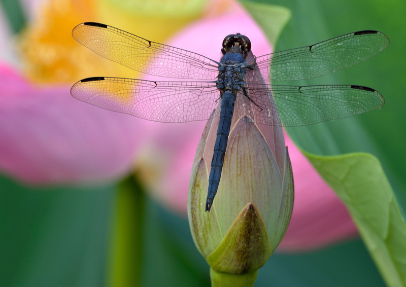 Dragon Fly's Embrace 2
