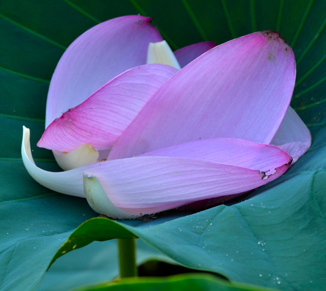 Lotus petals in natural crib