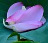 Lotus petals in natural crib