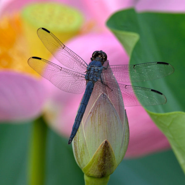 Dragon Fly's Embrace 1