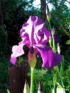 Iris in the Sunshine