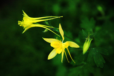 Mountain Columbine