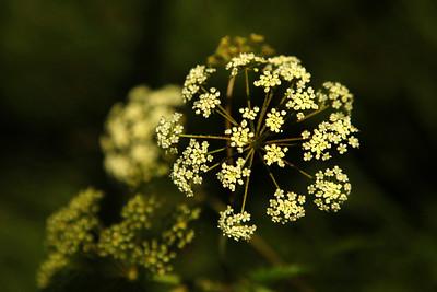 Osha Flower