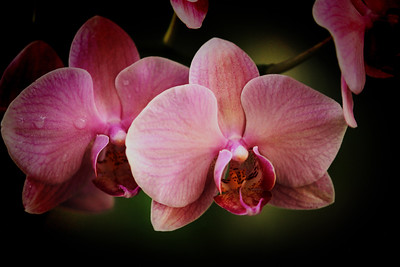 St. Lucia Orchid