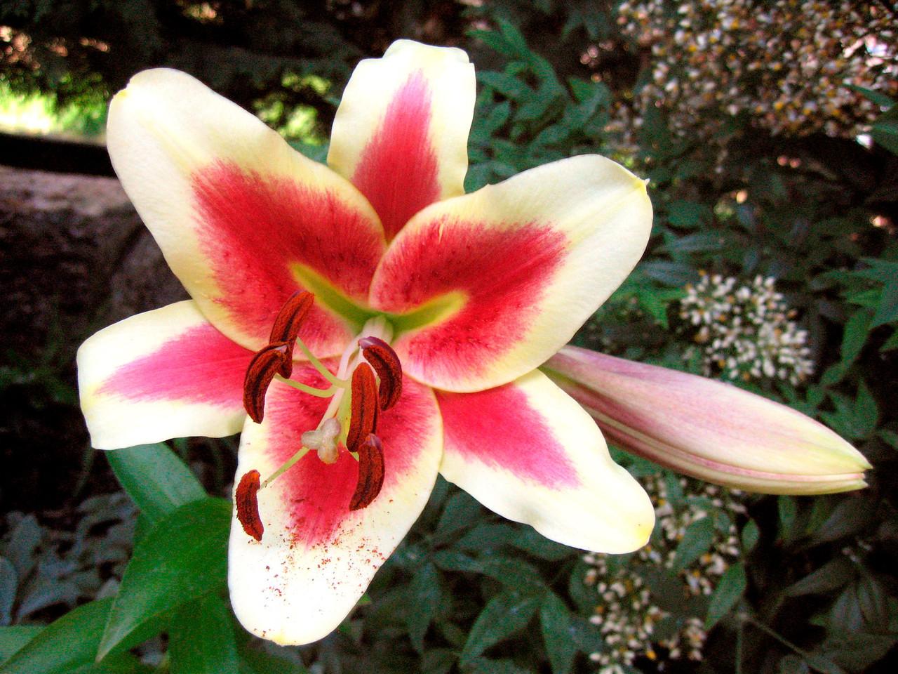 """Shocking"" Oriental Lily"