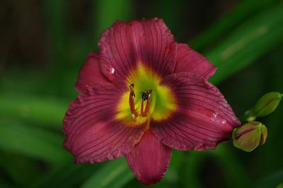 Pentax DA 55-300mm Cranberry hibiscus
