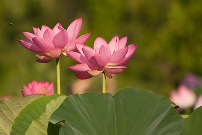 Lotus Blossom taken at Kennilworth Acquatic Gardens, Washington DC
