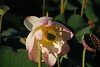 A beautiful and highly rare lotus flower.