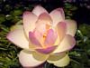 Pond Flower - LOTUS